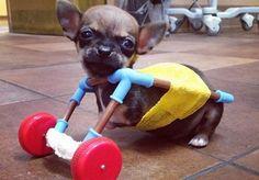 De tamanho minúsculo e nome imponente, o chihuahua Turbo, de apenas um mês, tem arrancado alguns suspiros ao redor do mundo. Ele nasceu sem as duas patas dianteiras e tornou-se um fenômeno no Instagram. Normalmente, cachorros como ele só podem usar cadeiras de roda após seis meses de vida. Mas os doveterináriosque o acolheram em Indianápolis, Indiana, resolveram criar uma cadeira de rodas feita de peças de brinquedo para o pequeno grande Turbo, após constatarem que sua saúde estava em…