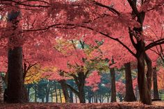 Nami Island In the Fall. Beautiful Island in South Korea to visit any time of the year.