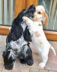 Dog Breeds For Apartments .Dog Breeds For Apartments Big Dog Toys, Funny Dog Toys, Puppies And Kitties, Cute Puppies, Cute Dogs, Spaniel Breeds, Cocker Spaniel Puppies, Cute Baby Animals, Animals And Pets