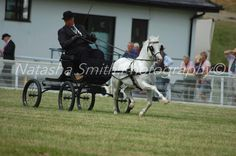Welsh Mountain Ponies Carriage Driving