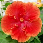Exotic Hibiscus 'Expect Miracles'