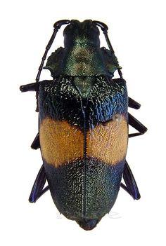 Charmallaspis pulcherrimus