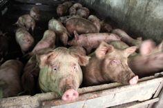 Autorităţile sunt în alertă: pesta porcină africană a ajuns la Arad Animals, African, Animales, Animaux, Animal, Animais