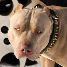 Warhol #beauty #beast #pitbull