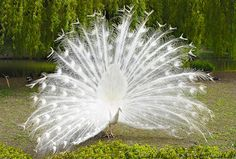 By Artist Unknown. White Peacock, Peacock Art, Albino Peacock, White Picket Fence, Nature Wallpaper, True Beauty, Beautiful Creatures, Blue Bird, Fountain