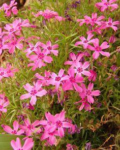 Pink Phlox: Phlox subulata