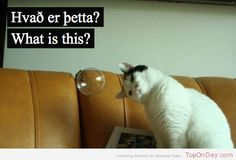 Funny Animal Pictures - View our collection of cute and funny pet videos and pics. New funny animal pictures and videos submitted daily. Crazy Cat Lady, Crazy Cats, Pitbull, Crazy Funny Pictures, Random Pictures, Son Chat, Photo Chat, Cat Photography, Mobile Photography