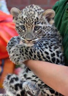 A endangered Persian Leopard Cub born on June 10 2013 made his debut at the Budapest Zoo. The male cub, named Dante, was given his first medical exam and presented to the public for the first time.