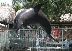 Swim with Dolphins at Dolphins Plus- Key Largo