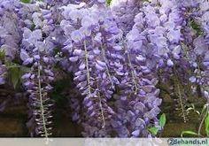Blauwe regen Wisteria sinensis