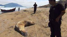 Áncash: Hallan lobos marinos y tortugas decapitadas en playa Atahualpa