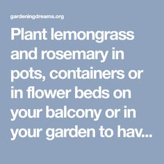 Plant lemongrass and rosemary in pots, containers or in flower beds on your balcony or in your garden to have a mosquito free summer! You can use them as herbs in cooking as well. Remember to brush them to release more of their fragrance before your outdoor activity. - Gardening Dreams