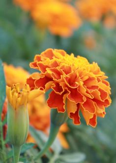 Marigold is a flower that is easy to care for, sown in spring. It flowers until . Marigold is a fl Flowers Perennials, Planting Flowers, Beautiful Gardens, Beautiful Flowers, Summer Blooming Flowers, Perennial Garden Plans, Household Plants, Shade Garden Plants, Full Sun Plants