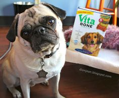 Look at that pug face! He really wants the cookie in my hand. #sponsored