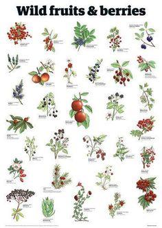 Wild Fruits and Berries Guardian Wallchart Prints Logo Fleur, Leaf Identification, Potager Bio, Edible Wild Plants, Wilderness Survival, Survival Tips, Survival Quotes, Wild Edibles, Outdoor Survival