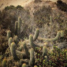 Cactus: Quisco costero Echinopsis chiloensis (Colla) Friedrich & G.D. Rowley ssp. littoralis (Johow) Lo. Acantilados de Quirilluca Costa región de Valparaíso Chile