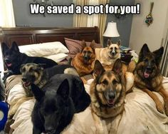 this is why my dog is not allowed on the furniture, as if that stops him! :) The German Shepherd Everything you want to know about GSDs. Health and beauty recommendations. Funny videos and more