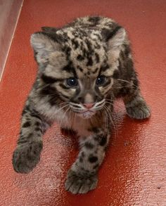 baby leopard... I'm putting this lil guy on the puppy board even tho he doesn't belong