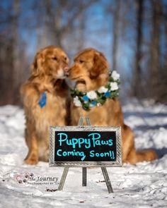Adorable PAWternity Shoot to Celebrate Puppies Being Born Into a Service Dog Program - I Can Has Cheezburger? Puppy Pictures, Dog Photos, Puppy Pics, Baby Dogs, Pet Dogs, Doggies, Dogs Pitbull, Puppy Litter, Arte Dachshund