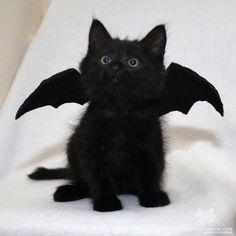 From @love2foster: A fluffy baby bat. #catsofinstagram [source: http://ift.tt/2x8sv3O ]