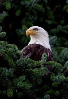 Bald Eagle in Juneau, Alaska. This is Absolutely Stunning.Bald Eagle in Juneau, Alaska. This is Absolutely Stunning. Pretty Birds, Love Birds, Beautiful Birds, Animals Beautiful, Cute Animals, Photo Aigle, Aigle Animal, Eagle Pictures, Photo Animaliere