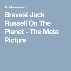 Bravest Jack Russell On The Planet - The Meta Picture