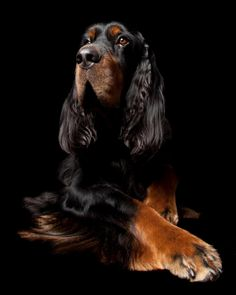 """Gordon Setter """" Beauty and brains"""" They remain playful long into adulthood. I sure miss my """"Soda""""."""