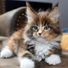 Where to Find Maine Coon Kittens for Sale – Cats Cute Cats And Kittens, I Love Cats, Crazy Cats, Cool Cats, Kittens Cutest, Fluffy Kittens, Pretty Cats, Beautiful Cats, Animals Beautiful