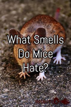 What smells do mice hate, and how can you use certain scents to keep rodents out of your home? Best Picture For Rodents For Your Taste You are looki Diy Mice Repellent, Insect Repellent, Chipmunk Repellent, Spider Repellant, Snake Repellant, Mice Control, Pest Control, Mouse Deterrent, Keep Mice Away