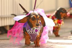 Look at this dog. | 17 Incredible Pictures Of Costumed Sausage Dogs Racing Each Other