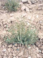 Cultivo de Tomillo (Thymus vulgaris) y usos, herbotecnia