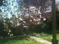 2015 - April Magnolia in bloei.