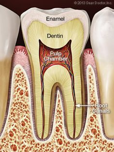 A Step-By-Step Guide to Root Canal Treatment- Normal pulp and root canals.