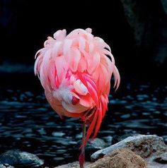 Beautiful sleeping flamingo