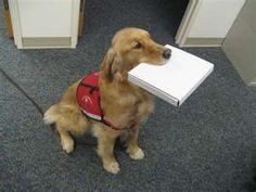 Golden Retriever Service dog!