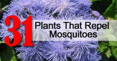 31 Plants That Repel Mosquitoes : When spring arrives so do those annoying mosquitoes. Instead of going the chemical route, here is a collection of mosquito repelling plants to make mosquito control more natural.