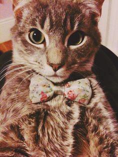 Frat Cat. Getting my cat a bowtie