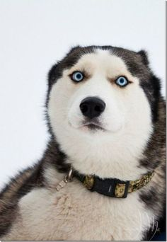funny husky face