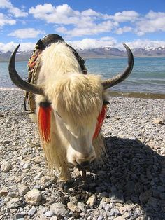 yak - Tibetan yaks are frequently decorated, loved, and considered part of the family.