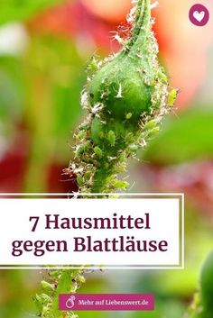 7 Hausmittel, gegen Blattläuse Aphids can cause considerable damage to your plant. We'll tell you how you can fight the annoying pests without any chemistry. # blattläuse # pflanzenschädling Balcony Garden, Indoor Garden, Indoor Plants, Plant Pests, Backyard Vegetable Gardens, Backyard Sheds, Home Remedies, Shrubs, Gardening Tips