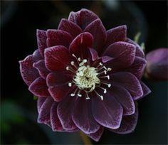 Helleborus x hybridus Winter Jewel Amethyst Gem