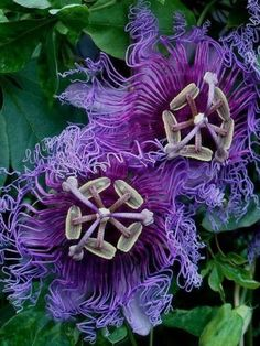 Organic Gardening In Florida Code: 2900099434 Exotic Flowers, Tropical Flowers, Amazing Flowers, Love Flowers, Purple Flowers, Garden Plants, House Plants, Malva, Passion Flower