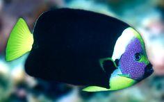 Online Aqurium Shopping: Secrets, Advice And Tips You Need Tropical Freshwater Fish, Freshwater Aquarium Fish, Saltwater Fish Tanks, Saltwater Aquarium, Tropical Aquarium, Tropical Fish, Pet Fish, Fish Fish, Fish Breeding