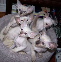 Litter of Siamese kittens with seal, chocolate, blue and lilac points Orange And White Cat, White Cats, Siamese Kittens, Cats And Kittens, Show Me Cats, Seal Point Siamese, Oriental Cat, Image Chat, Cattery