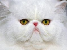 """""""I is a sensitive kitty.  I wears my heart on my noses.""""  White Persian Cat 11x14 Original Fine Art Photograph by PrettySoul"""