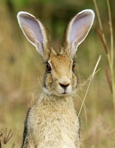 Meaning of the dream in which you see the Hare. Detailed description about dream Hare. Amazing Animals, Animals Beautiful, Hare Images, Animals And Pets, Cute Animals, Photo Animaliere, Jack Rabbit, British Wildlife, Tier Fotos