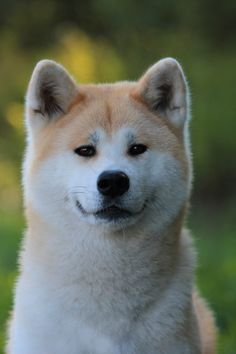 Akita Inu-- awwww There is a super sad movie about Akitas called Hachi a dogs tale