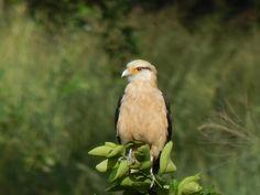 Foto carrapateiro (Milvago chimachima) por Rodrigo Aragão Ribeiro | Wiki Aves - A Enciclopédia das Aves do Brasil