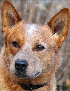 Australian cattle dog red – mammals form the principal portion of the diet regime. The animal moves nicely with the legs set square below the& The post Australian Cattle Dog Red appeared first on McGregor Dogs. Australian Cattle Dog Puppy, Austrailian Cattle Dog, Aussie Dogs, Top Dog Breeds, Reactive Dog, Never Be Alone, Dog Rules, Dogs And Puppies, Doggies