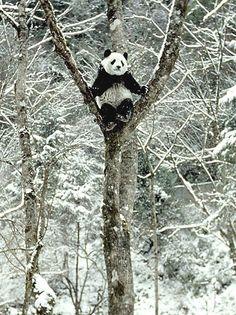 Panda playtime…..